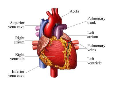 ana yüreği